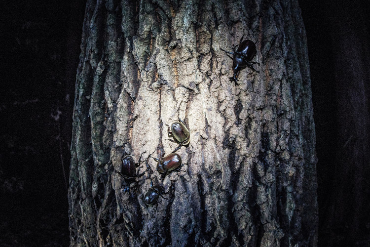 息子と一緒にナイトトレイルライド&昆虫採集 カブトムシ