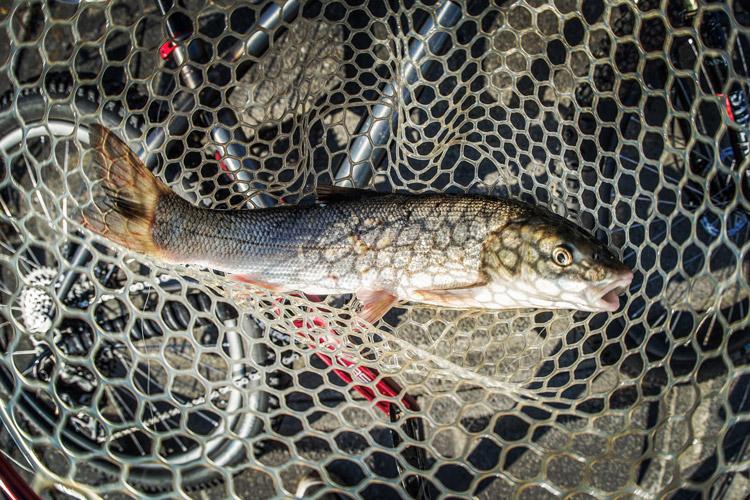 多摩川 朝活BIKE&FISHで釣れたマルタウグイ