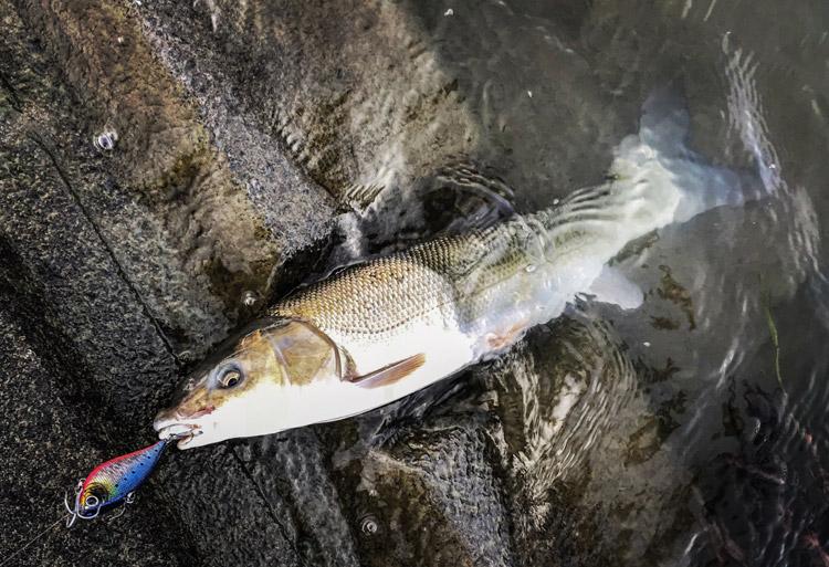 多摩川 BIKE&FISHで釣れたマルタウグイ