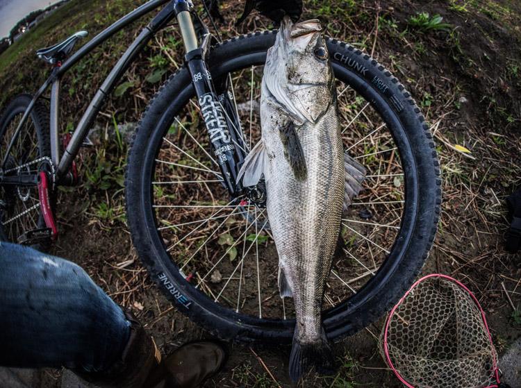 多摩川 朝活BIKE&FISHで釣れたシーバス スズキ