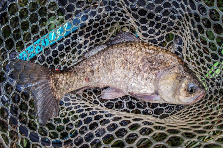 朝活BIKE&FISHで釣れたヘラブナ マブナ 半ベラ