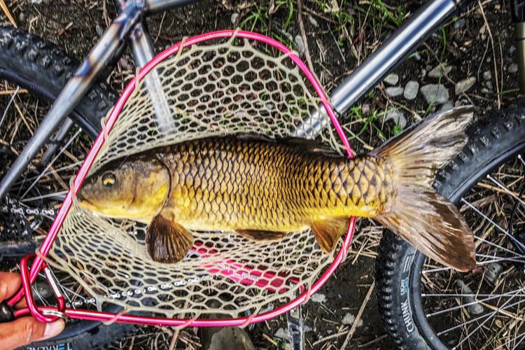 多摩川 朝活BIKE&FISHで釣れたノゴイ