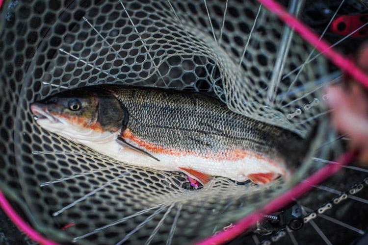 朝活BIKE&FISH メタルバイブで釣れたマルタウグイ40cm