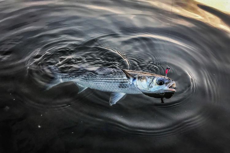 朝活BIKE&FISH 多摩川河原 ボラ