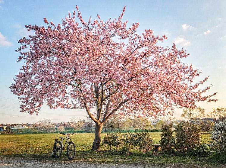 多摩川河原 早咲き桜 FUKUROU