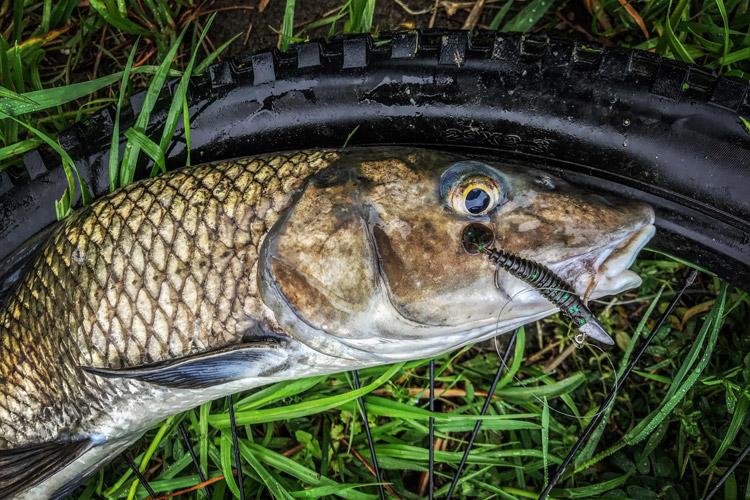 朝活BIKE&FISHで釣れたニゴイ シャットテールワーム
