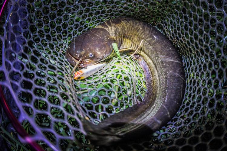 朝活BIKE&FISHで釣れたナマズ