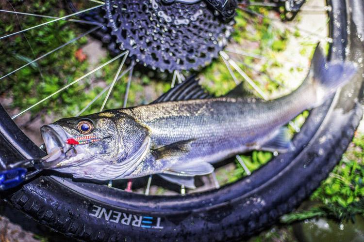 朝活BIKE&FISHで釣れたシーバス スズキ 55cm メタルバイブ