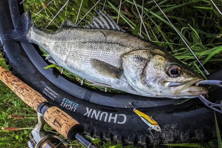 朝活BIKE&FISHで釣れたシーバス スズキ 50cm メタルバイブ