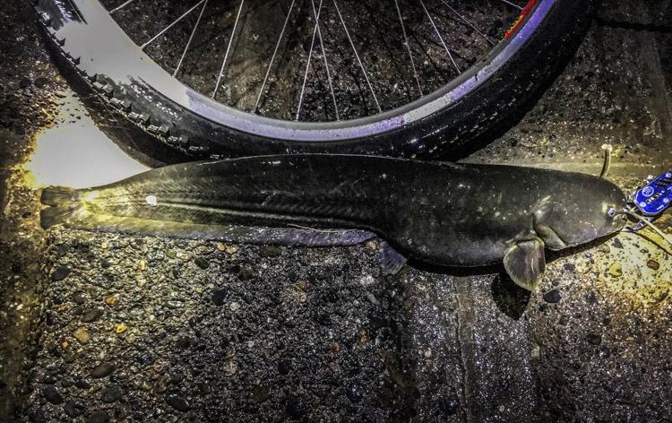 夕活BIKE&FISHで釣れたナマズ