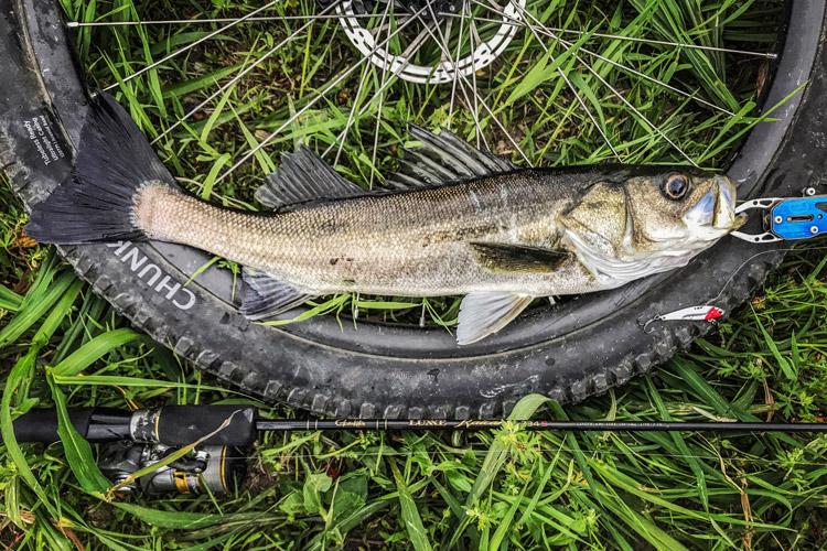 朝活BIKE&FISHで釣れたシーバス スズキ 60cm メタルバイブ