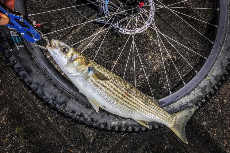 朝活BIKE&FISHで釣れたボラ メタルバイブ