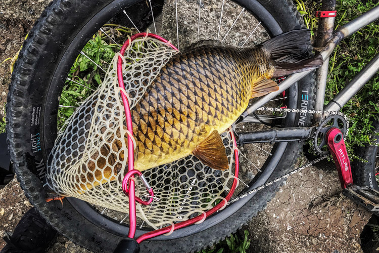 朝活BIKE&FISHで釣れたコイ 75cm メタルバイブ