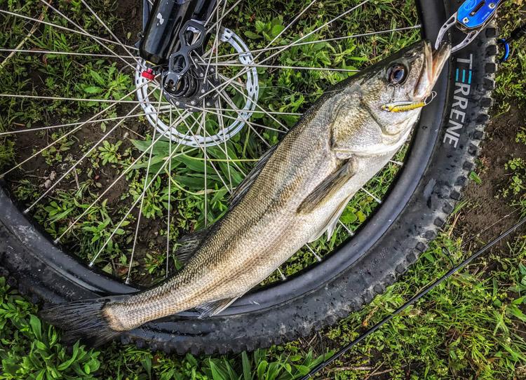 朝活BIKE&FISHで釣れたシーバス スズキ 65cm メタルバイブ