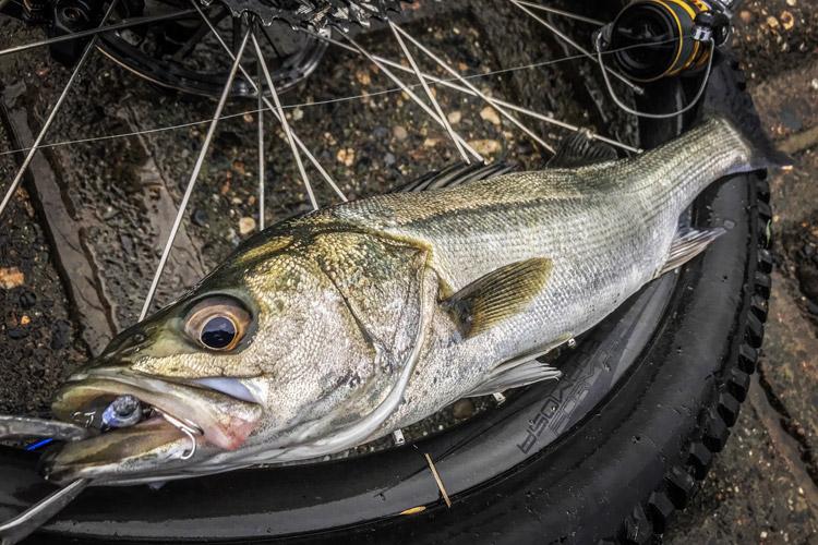 朝活BIKE&FISHで釣れたシーバス メタルバイブレーション