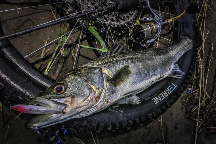 朝活BIKE&FISHで釣れたシーバス シンキングペンシル シンペン