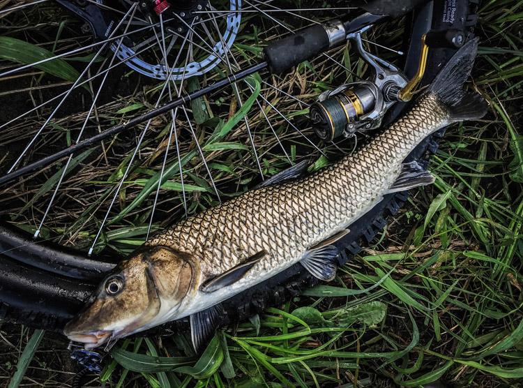 朝活BIKE&FISHで釣れたニゴイ メタルバイブレーション