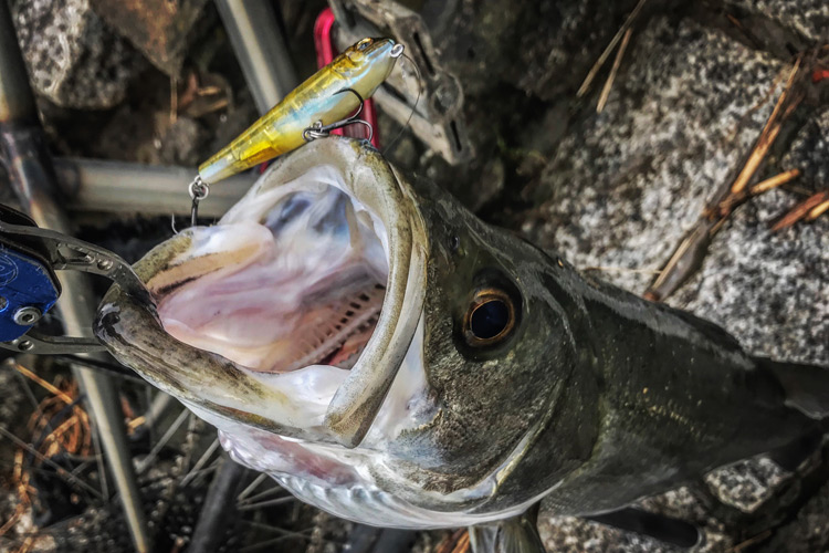 夕活BIKE&FISHで釣れたシーバス Megabass COAYU SLIDE SINKER