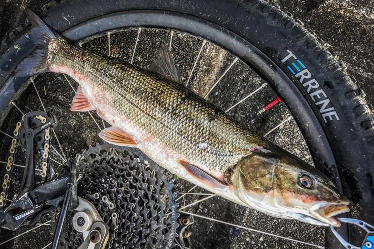 朝活BIKE&FISHで釣れたマルタウグイ メタルバイブ