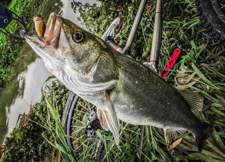朝活BIKE&FISHで釣れたシーバス Megabass POPX ホッパー