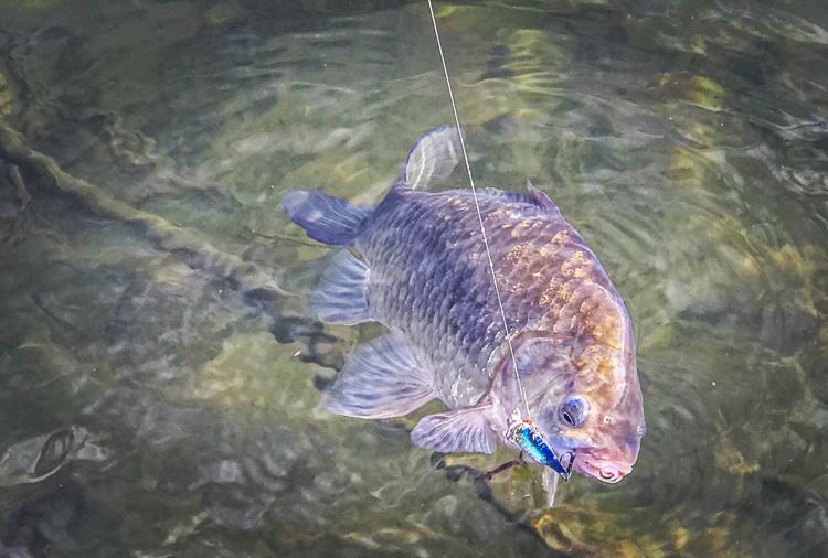 朝活BIKE&FISHで釣れたヘラブナ メタルバイブレーション
