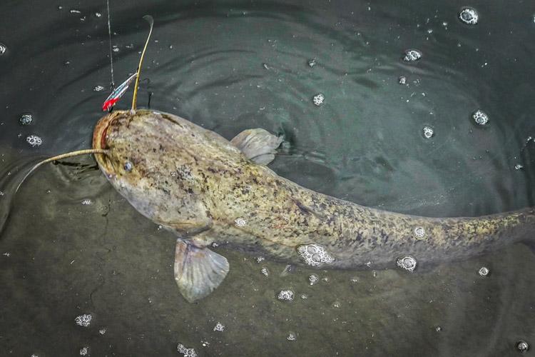 朝活BIKE&FISHで釣れたナマズ メタルバイブ