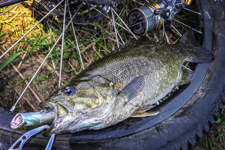 朝活BIKE&FISHで釣れたスモールマウスバス Megabass POPX ホッパー