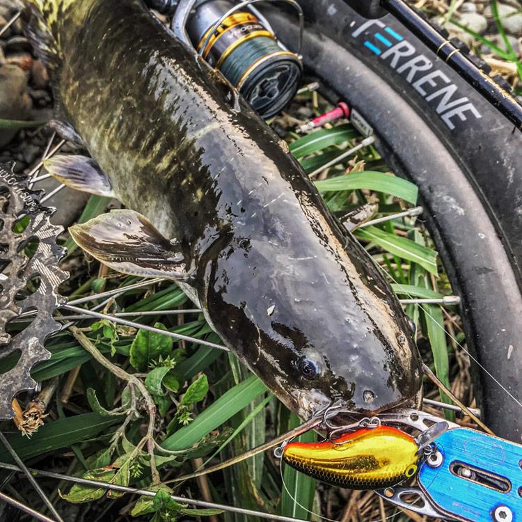 朝活BIKE&FISHで釣れたナマズ クランクベイト ピーナッツ2