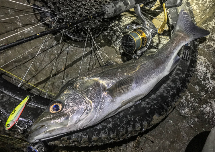 夜活BIKE&FISHで釣れたシーバス メタルバイブ