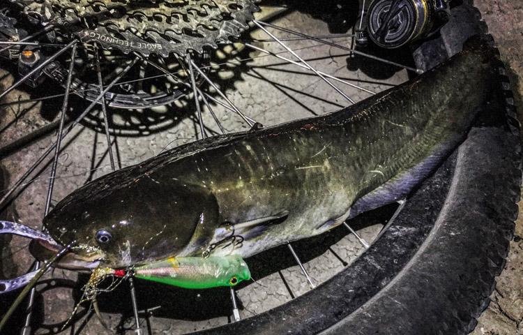 夜活BIKE&FISHで釣れたナマズ Megabass POPX ホッパー