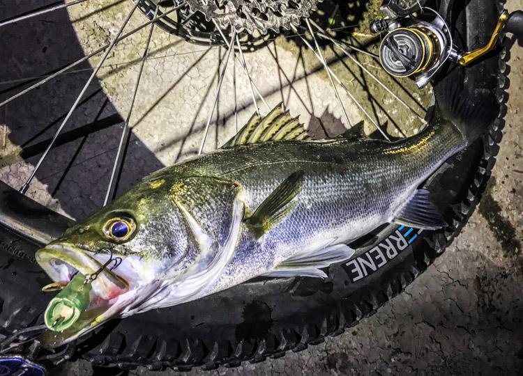 夜活BIKE&FISHで釣れたシーバス Megabass POPX ホッパー