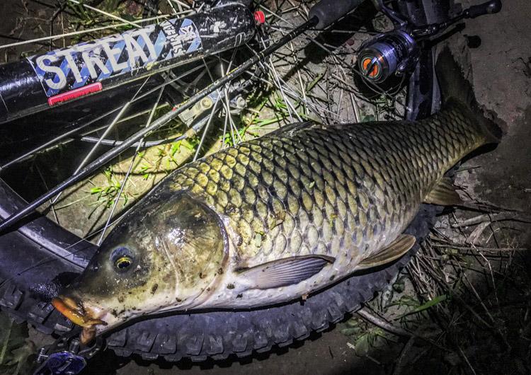 夕活BIKE&FISHで釣れたゴイ メタルバイブレーション