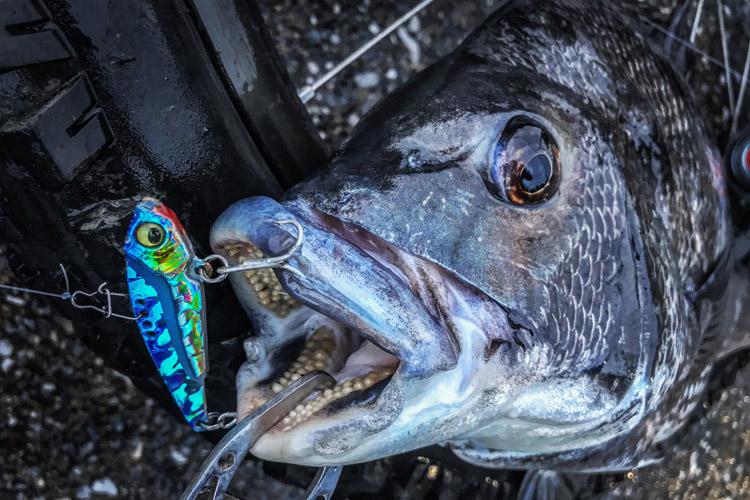 朝活BIKE&FISHで釣れたクロダイ メタルバイブ