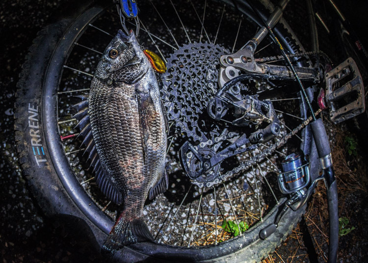 夕活BIKE&FISH クランクベイト ピーナッツで釣れたクロダイ