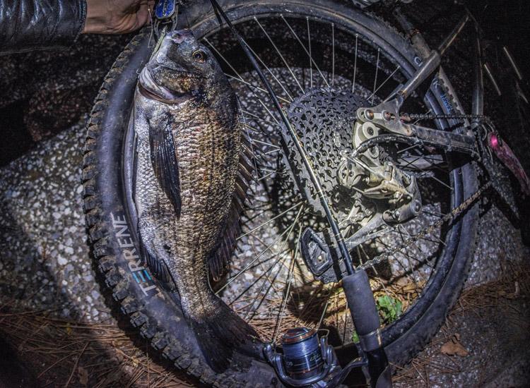 朝活BIKE&FISH メタルバイブで釣れたクロダイ