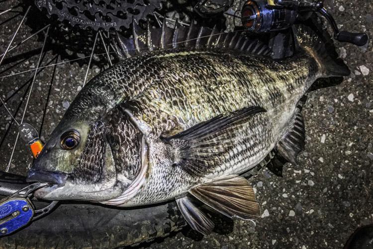 朝活BIKE&FISH クランクベイト ピーナッツで釣れたクロダイ