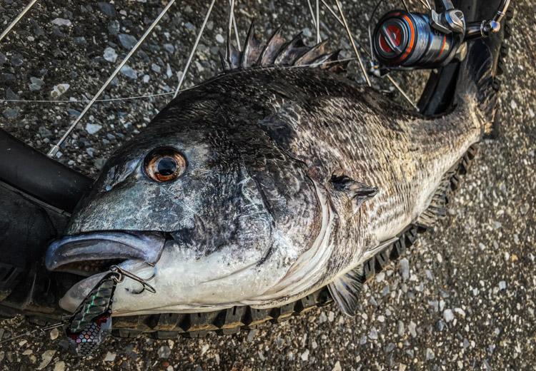 夕活BIKE&FISHで釣れたクロダイ メタルバイブ