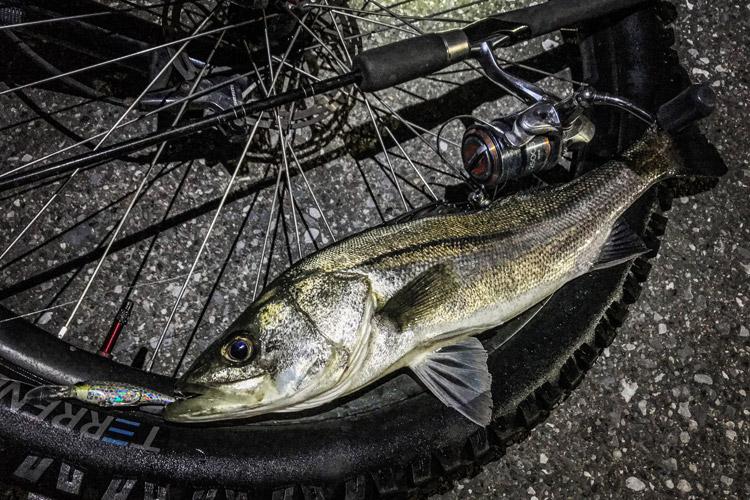 朝活BIKE&FISH シャッドで釣れたシーバス スズキ