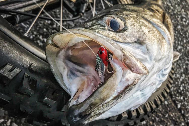 朝活BIKE&FISH メタルバイブで釣れたシーバス スズキ ランカー