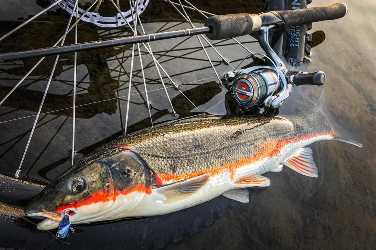 多摩川 朝活BIKE&FISHでメタルバイブで釣れたマルタウグイ