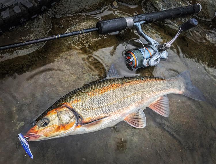 多摩川 朝活BIKE&FISHでメタルバイブで釣れたノーマルウグイ