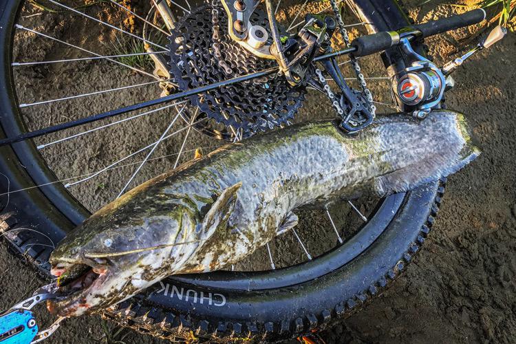 朝活BIKE&FISH メタルバイブで釣れたナマズ