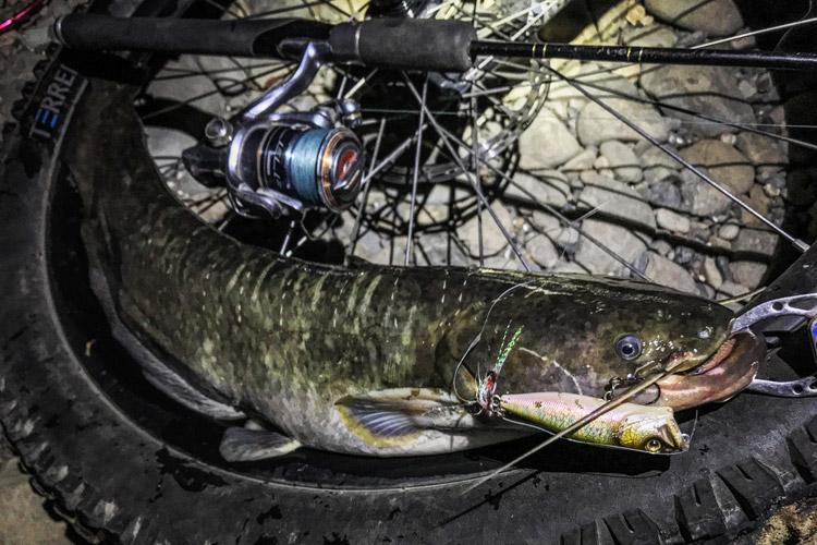 多摩川河原 丑三つ時BIKE&FISH POPXで釣れたナマズ