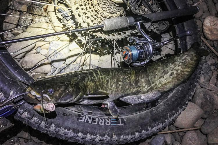 多摩川河原 朝活BIKE&FISH POPXで釣れたナマズ