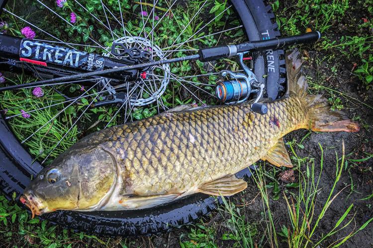 多摩川河原 朝活BIKE&FISH ワームで釣れたコイ78cm