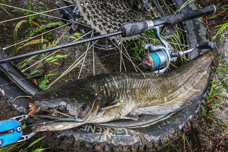 多摩川河原 朝活BIKE&FISH ジグヘッドワームで釣れたナマズ