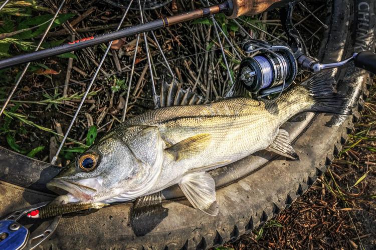 多摩川河原 夜活BIKE&FISH ジグヘッドワームで釣れたシーバス