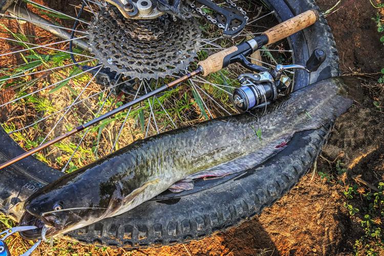 多摩川河原 夜活BIKE&FISH ジグヘッドワームで釣れたナマズ