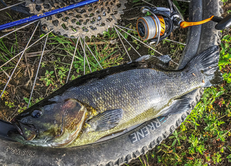 多摩川河原 朝活BIKE&FISH ゲイリーシュリンプで釣れたスモールマウスバス 48cm