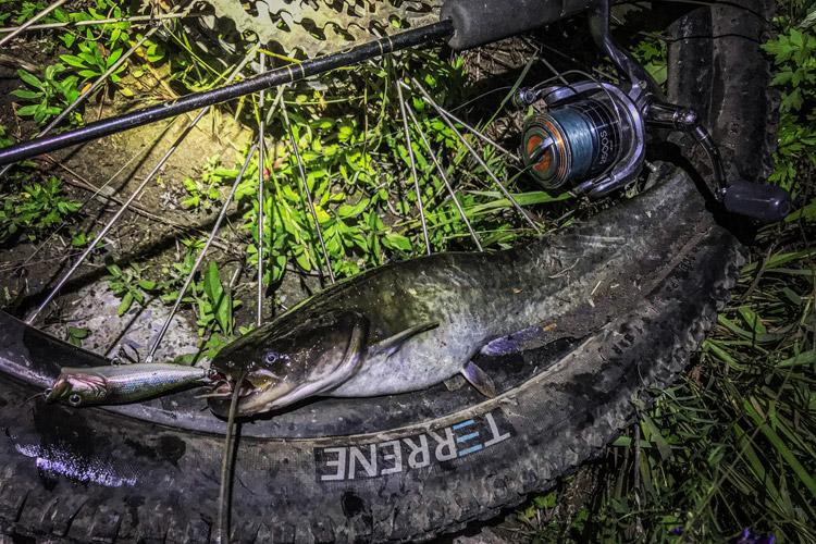 多摩川河原 夜活BIKE&FISH POPXで釣れたナマズ